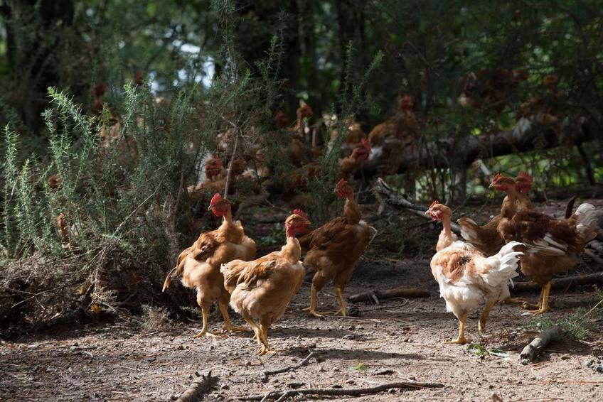 Les poulets St-Sever en liberté...