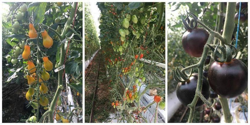 Tomates Cerise Apéritives au Fromage, Basilic et Paprika